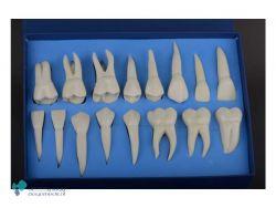 ست آموزشی آناتومی و ریشه دار دندان (16 عددی) X3